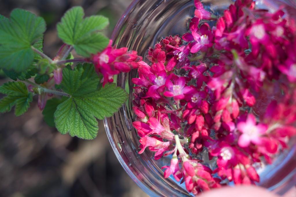 Ribes sanguineum © HeleneTorp & width=